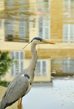 Urban grey heron. Grey heron stands over garden pond stocked with koi with the reflection of the  adjoining houses visible on the water Royalty Free Stock Photo