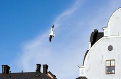 Urban gull. Over roof tops Stock Image