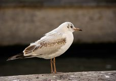 Urban gull. Standing on a Seine river quay royalty free stock photos