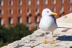 Urban gull on wall of Castle St Angel in Rome Royalty Free Stock Images