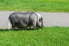 The urban hog. Royalty Free Stock Photo