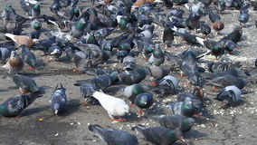 Urban hungry pigeons eating bread and grains stock video footage