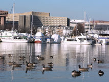 Urban landscape - SW waterfront in Washington, DC 2. Photo of a section of the SW waterfront in Washington, DC with Canada Geese in the foreground royalty free stock photos