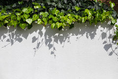 Urban landscaping with green ivy trailing down wall Royalty Free Stock Images