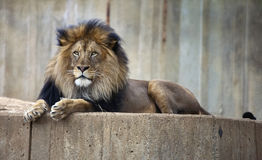 Urban Lion. A large male lion relaxes in an urban setting Stock Photography