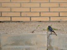 Urban little bird. Urban redstart (Phoenicurus ochruros) passing winter in warm places Royalty Free Stock Photo