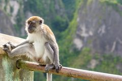 Exposed perched Macaque monkey Royalty Free Stock Photo