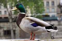 Mallard Duck Urban adaptation animal housing Paris France. Urban Mallard Duck inside the city near the Notre Dame Cathedral, Our Lady of Paris, france. Wild Duck Royalty Free Stock Photography