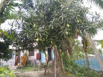Normal mango tree with urban & rural place Royalty Free Stock Photos