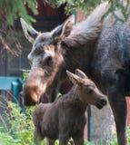 Urban Mom Moose with calf. Stock Photos