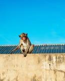 Urban Monkey Stock Images