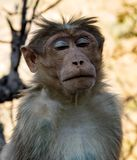Urban monkey sits with eyes closed, looking serene. In Delhi, India Royalty Free Stock Photography