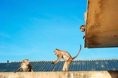 Urban monkey, Thai Royalty Free Stock Photos