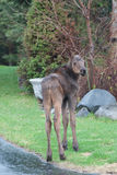 Urban Moose Calf Stock Photography