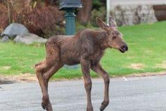 Urban Moose Calf. A young moose calf in a neighborhood Stock Photos