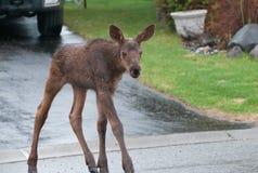 Urban Moose Calf. A young moose calf in a neighborhood Stock Image