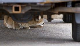 Urban Mountain Lion (Felis concolor). Mountain Lion (Felis concolor) under vehicle in parking lot Stock Images