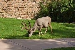 Urban Mule Deer Buck Royalty Free Stock Images