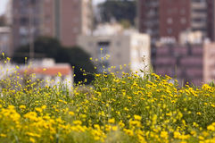 Urban nature. Wild flowers contrasting with urban environment Stock Image
