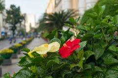 Free Urban Nature Background Of Bright Hibiscus Flowers Stock Photo - 129608520