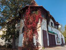 Urban nature - Old building covered by Life of Canada Parthenocissus quinquefolia
