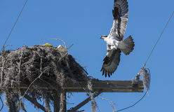 Urban Osprey Bird Royalty Free Stock Images