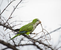 Urban parakeet Royalty Free Stock Photography
