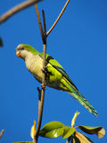 An urban parrot Stock Images