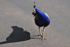 Urban Peacock Royalty Free Stock Image
