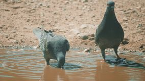 Urban pige on in motion, bathed in puddle after rain. pigeons bathe in a puddle lifestyle in the water heat summer slow. Urban pige on in motion, bathed in stock video footage