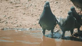 Urban pige on in motion, bathed in puddle after rain. pigeons bathe in a puddle in the water heat lifestyle summer slow. Urban pige on in motion, bathed in stock video