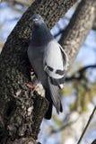 Urban pigeon Stock Photos