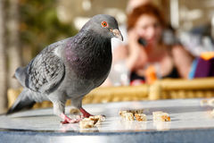 Urban Pigeon Royalty Free Stock Photography