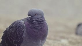 Urban pigeon on the beach. Close. Urban pigeon on the beach BlackSea stock video