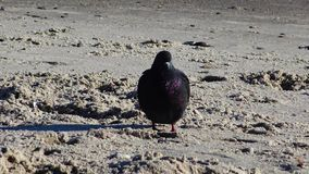 Urban pigeon Columba livia on the beach. Ukraine stock video footage