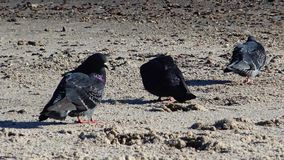 Urban pigeon Columba livia on the beach. Ukraine stock video