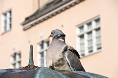 Urban Pigeon Royalty Free Stock Photos