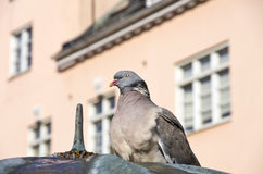 Urban Pigeon Stock Photos