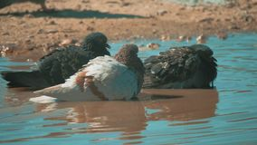 Urban pigeon in motion, bathed lifestyle in puddle after rain. pigeons bathe in a puddle in the water heat summer slow. Urban pigeon in motion, bathed lifestyle stock footage