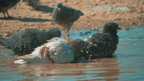 Urban pigeon in motion, bathed in puddle after lifestyle rain. pigeons bathe in a puddle in the water heat summer slow. Urban pigeon in motion, bathed in puddle stock video