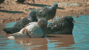 Urban pigeon in motion, bathed in puddle lifestyle after rain. pigeons bathe in a puddle in the water heat summer slow. Urban pigeon in motion, bathed in puddle stock video