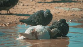 Urban pigeon in motion, bathed in puddle after rain lifestyle. pigeons bathe in a puddle in the water heat summer slow. Urban pigeon in motion, bathed in puddle stock footage