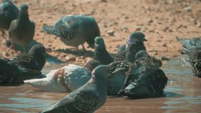 Urban pigeon in motion, bathed in puddle after rain. lifestyle pigeons bathe in a puddle in the water heat summer slow. Urban pigeon in motion, bathed in puddle stock footage