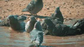 Urban pigeon in motion, bathed in puddle after rain. pigeons bathe lifestyle in a puddle in the water heat summer slow. Urban pigeon in motion, bathed in puddle stock video footage