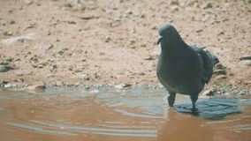 Urban pigeon in motion, bathed in puddle after rain. pigeons bathe in a puddle in the water heat summer lifestyle slow. Urban pigeon in motion, bathed in puddle stock video footage