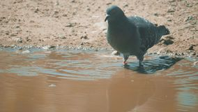 Urban pigeon in motion, bathed in puddle after rain. pigeons bathe in a puddle in the water heat summer slow lifestyle. Urban pigeon in motion, bathed in puddle stock video footage