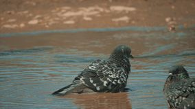 Urban pigeon in motion, bathed in puddle after rain. pigeons bathe in a puddle in the water heat summer slow motion. Urban pigeon in motion, bathed in puddle stock footage