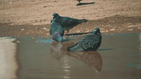 Urban pigeon in motion, bathed in puddle after rain. pigeons bathe in a puddle in the water heat summer slow motion. Urban pigeon in motion, bathed in puddle stock video