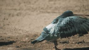 Urban pigeon in motion, bathed in puddle after rain. pigeons bathe in a puddle in the water heat summer slow motion. Urban pigeon in motion, bathed in puddle stock video footage