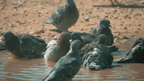 Urban pigeon in motion, bathed in puddle after rain. pigeons lifestyle bathe in a puddle in the water heat summer slow. Urban pigeon in motion, bathed in puddle stock video footage